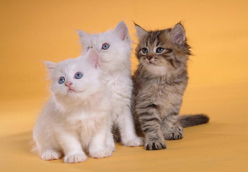 波斯猫 宠物烘干机 欧科达ukda