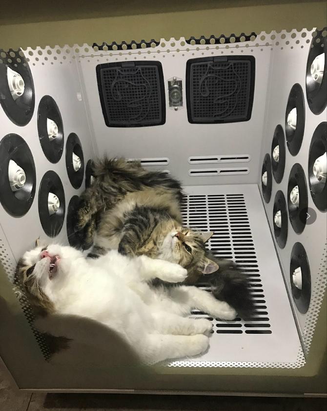 西伯利亚猫使用宠物烘干机