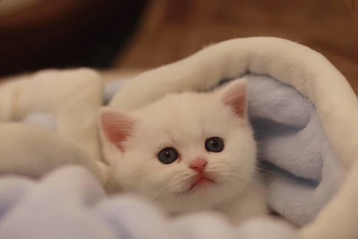 宠物烘干机什么牌子好_欧科达宠物烘干机_布偶猫_蓝猫