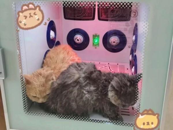 自从买了宠物烘干机,给猫咪吹毛根本没在怕的!