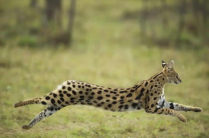 野生动物薮猫