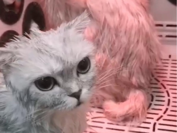 给猫咪吹毛简直比登天还难!还好有欧科达宠物烘干机