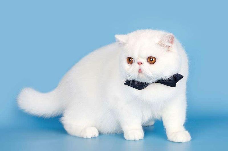 波斯猫 毛发烘干护理 欧科达宠物烘干护理机
